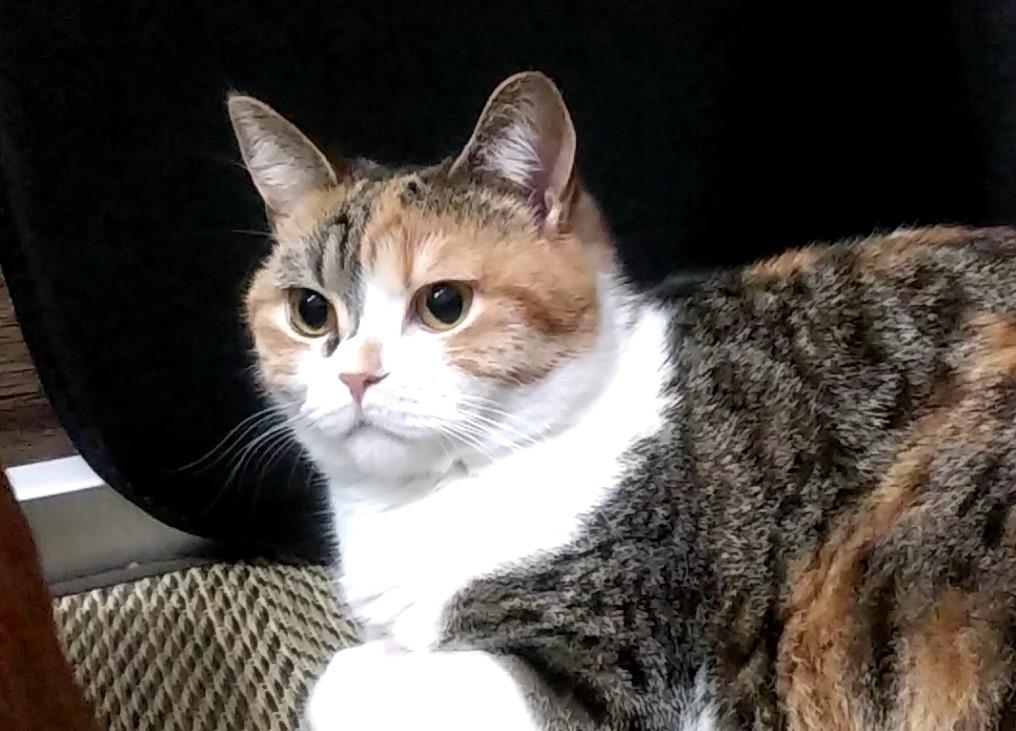 猫カフェ肉灸プレイルームのねこ1
