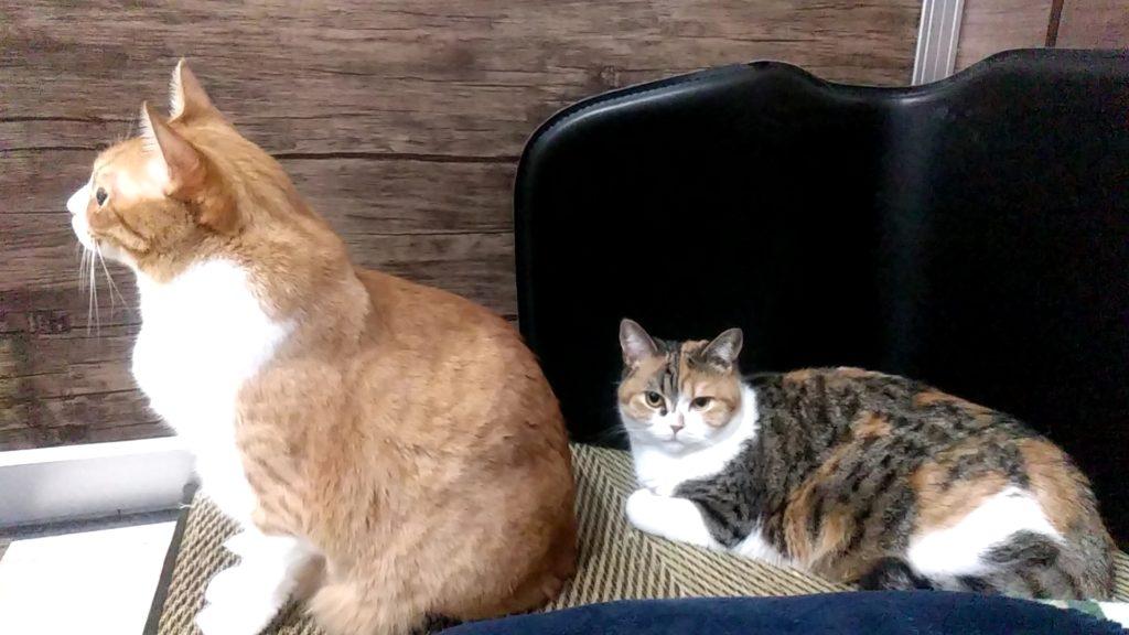 猫カフェ肉灸プレイルームのねこ2