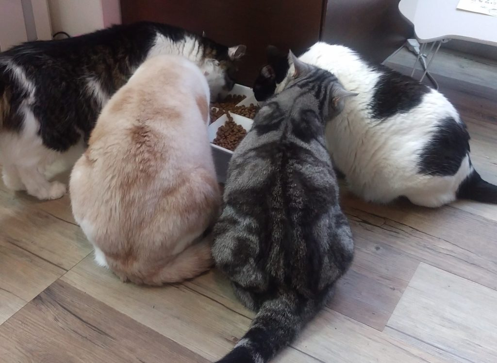 猫カフェ肉灸猫の食事風景1