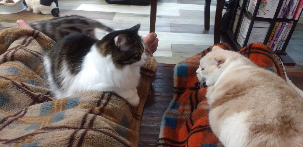 猫カフェ肉灸膝の上のねこ2