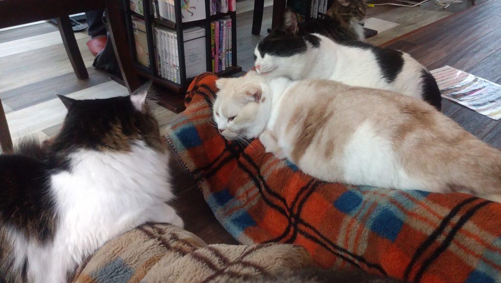 猫カフェ肉灸膝の上のねこ3