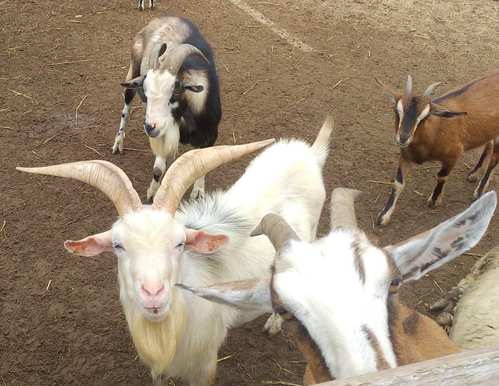 大山牧場のヤギ