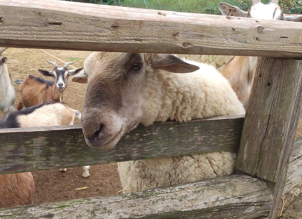 大山牧場の羊