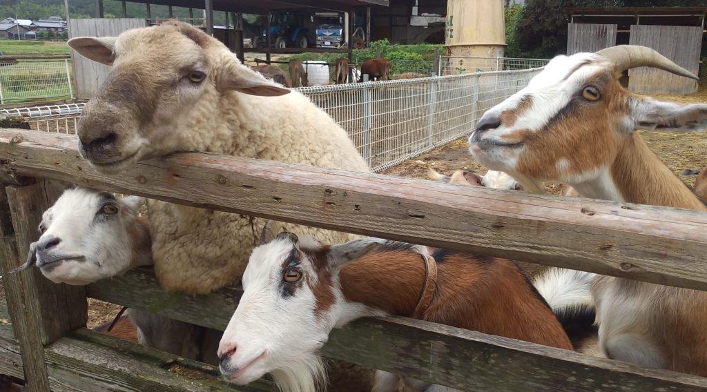 大山牧場のヤギと羊