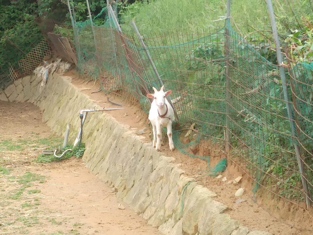 大山牧場の白い子ヤギ1