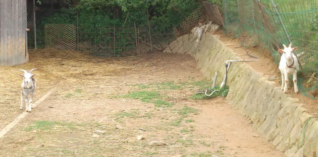 大山牧場の白い子ヤギともう一頭の子ヤギ