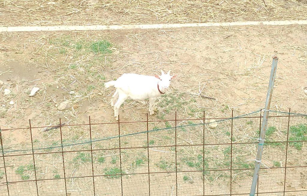 大山牧場の白い子ヤギ3