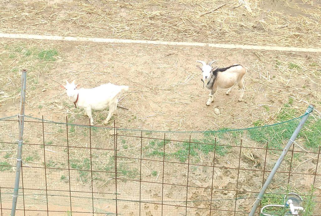 大山牧場の白い子ヤギともう一頭の子ヤギ2