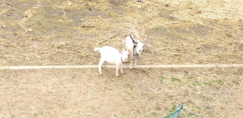 大山牧場の白い子ヤギともう一頭の子ヤギ4