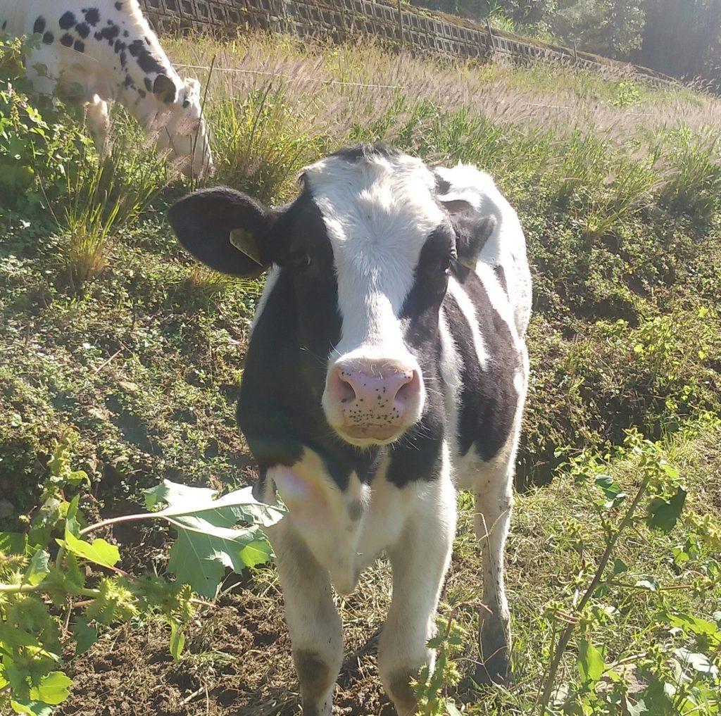 『DEER LAND FARM 岡﨑牧場』牛