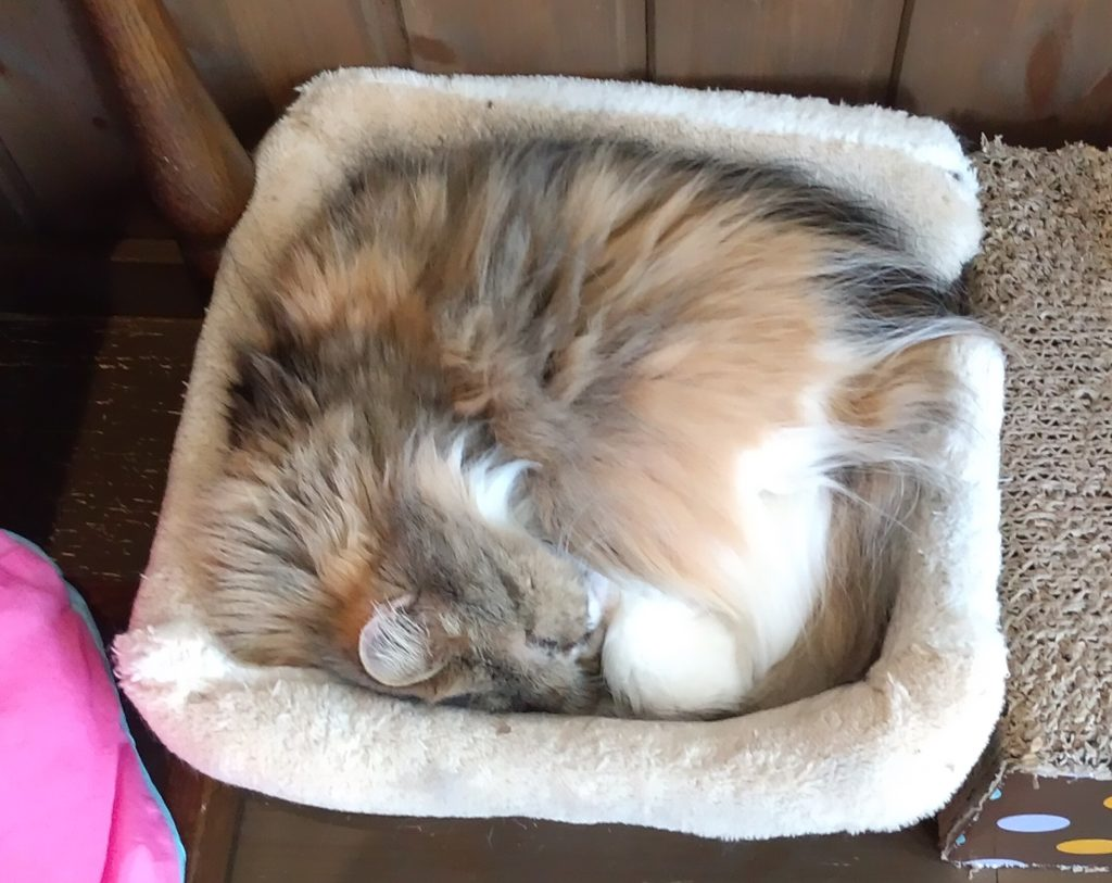『猫カフェ ねこちゃる』長毛