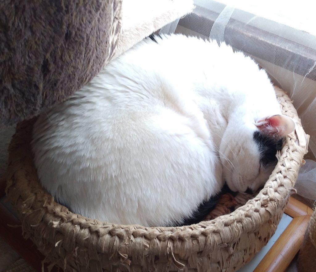 『猫カフェ ねこちゃる』白黒猫