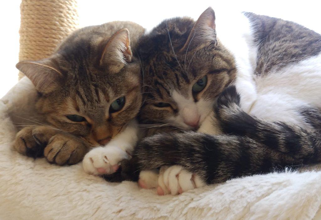 『猫カフェ ねこちゃる』二匹の猫