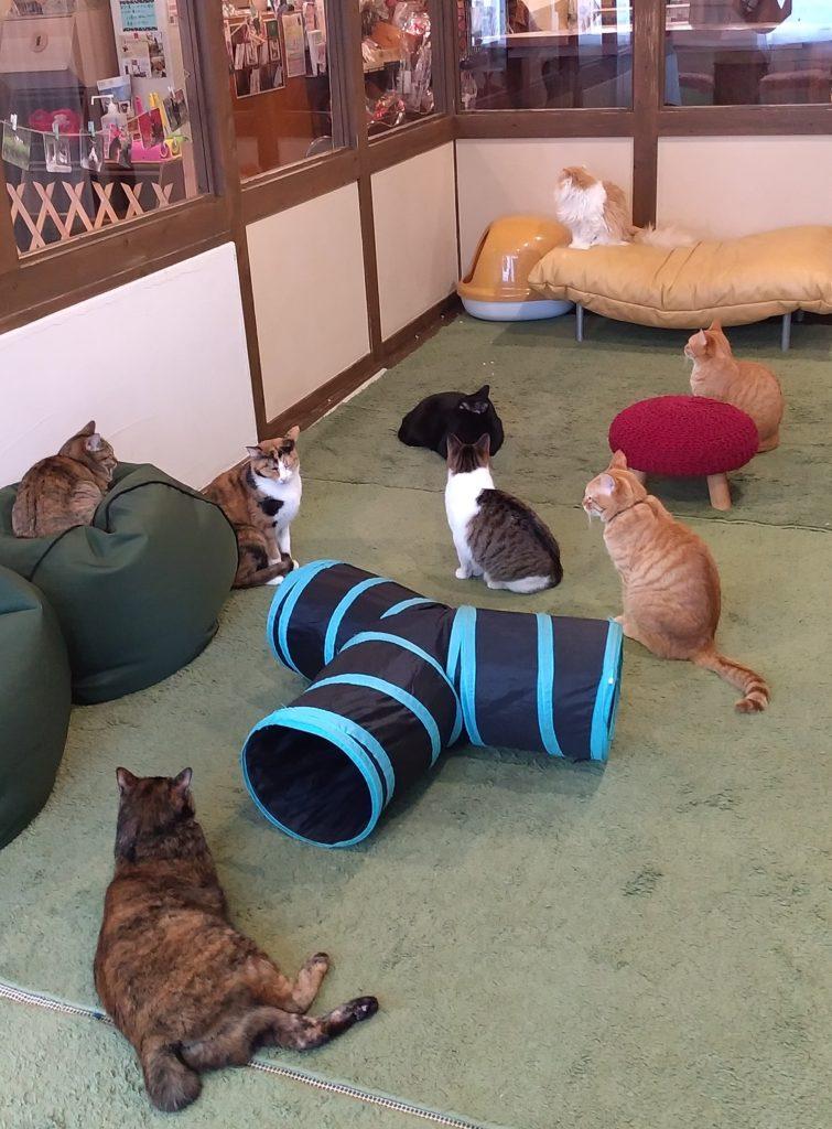 『猫カフェ ねこちゃる』猫たち2