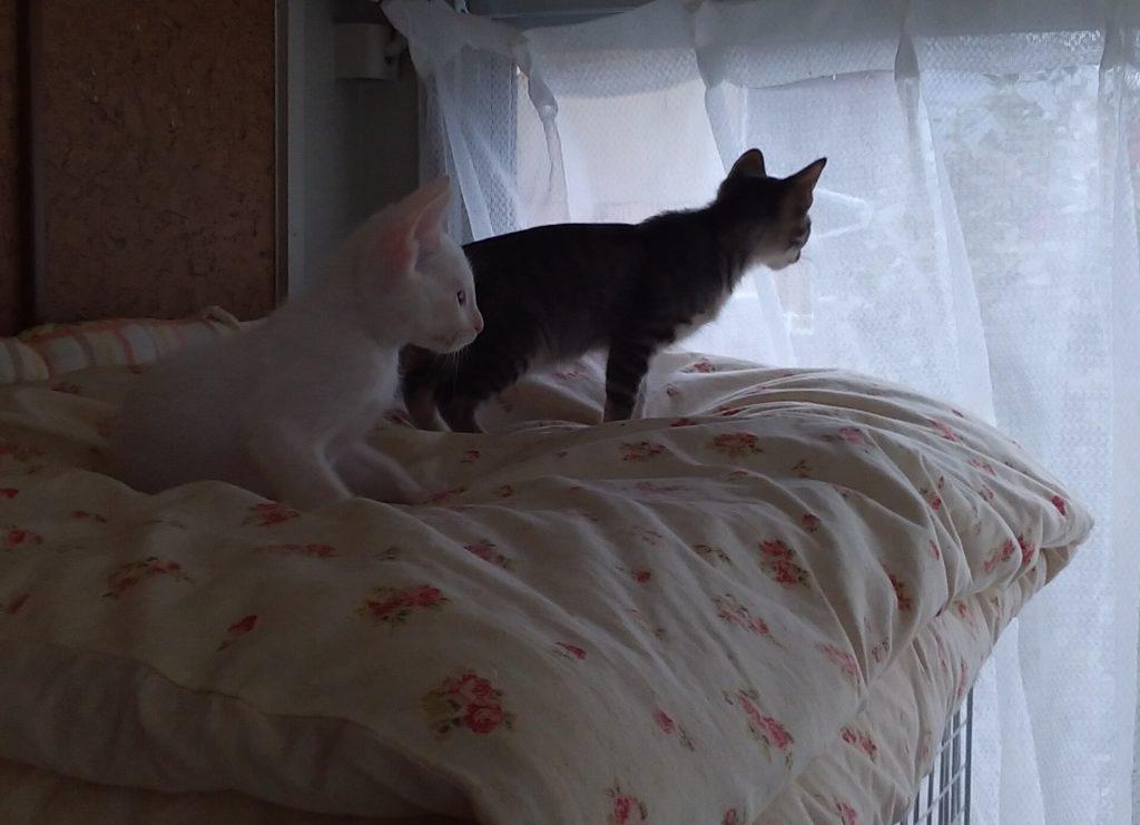 外を見つめる子猫