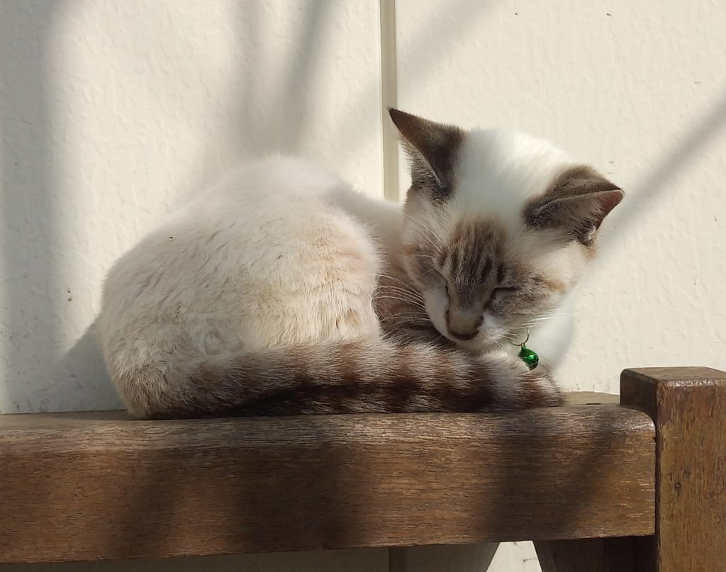Botanベンチの上で眠る子猫
