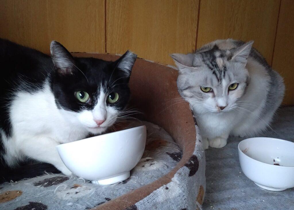 ご飯を食べる二匹の猫