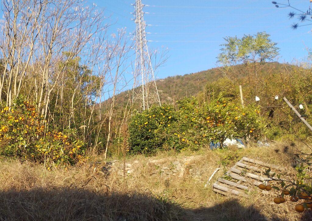 みかん畑付古民家の畑